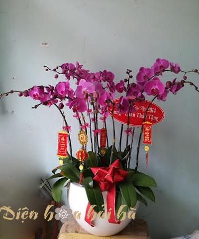 Chậu hoa lan hồ điệp 12 cây