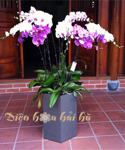 Chậu hoa lan hồ điệp 11 cây