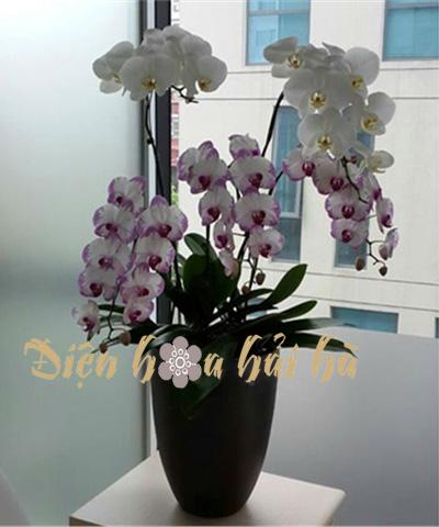 Chậu hoa lan hồ điệp 5 cây tím trắng