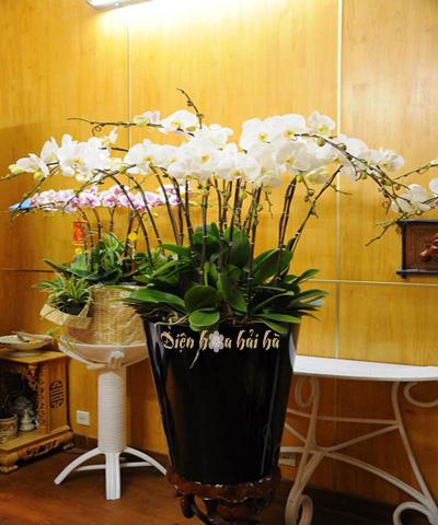 Chậu hoa lan hồ điệp 15 cây trắng