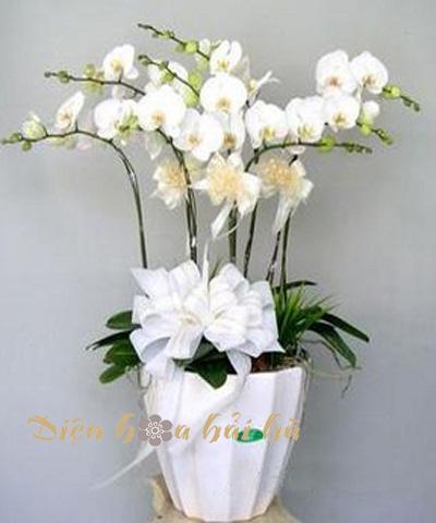 Chậu hoa lan hồ điệp tết 8 cây