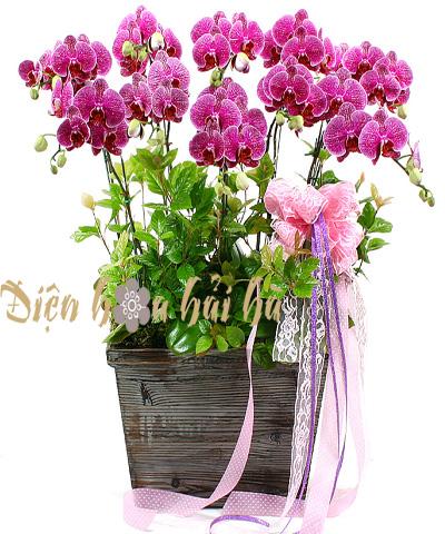 Chậu hoa lan hồ điệp tím 11 cây