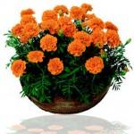 Ý nghĩa hoa vạn thọ ngày Tết