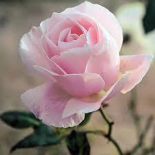 hồng phấn ngày valentine