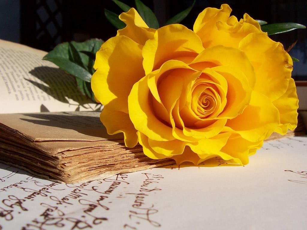 hồng vàng ngày valentine