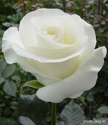 hoa hồng trắng ngày valentine