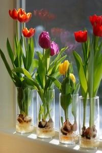 hoa tuylip