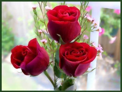 Hoa hồng đỏ Hoa đẹp