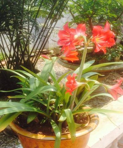 hoa loa kèn đỏ copy