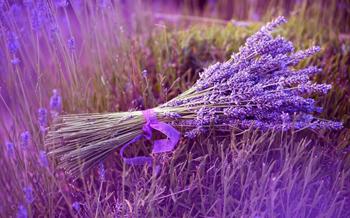 Hoa oải hương – Một câu chuyện tình buồn