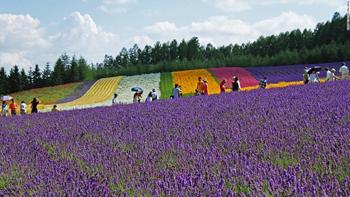 hoa oải hương7