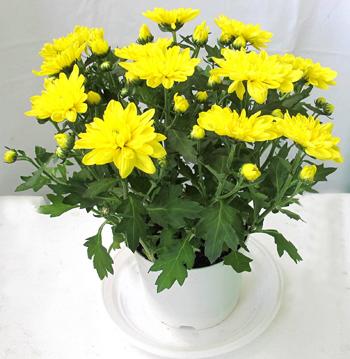 Hoa cúc Hoa tặng Mẹ