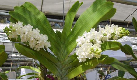 Một số hình ảnh và ý nghĩa hoa lan trắng