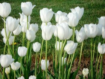 Tulip trắng Điện hoa Hải Hà