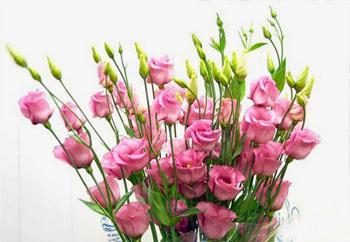 Hoa cát tường hồng Hoa tặng Mẹ