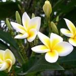Sự tích hoa đại hay còn gọi là hoa sứ