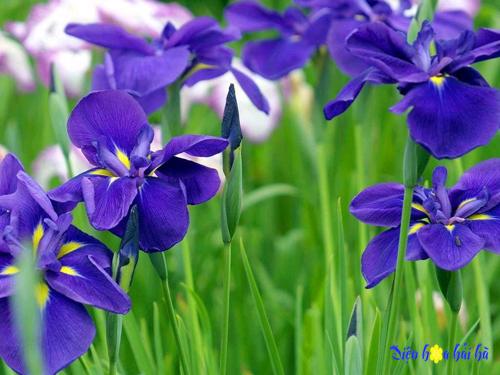 Blue-Iris-Flowers copy