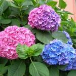 Sự tích hoa cẩm tú cầu – Một loài hoa đẹp