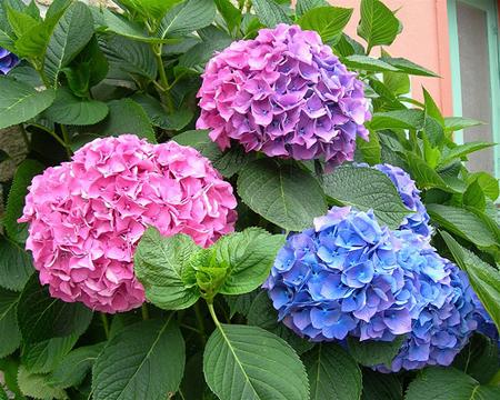 Hoa cẩm tú cầu 1- hoa đẹp 2