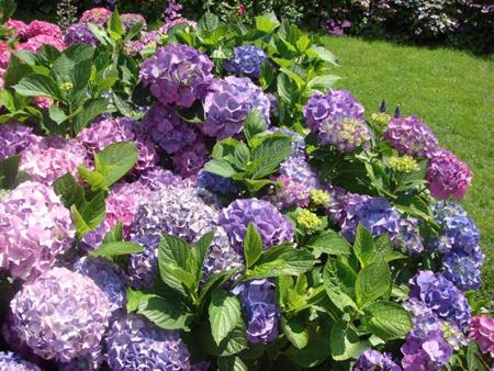 Hoa cẩm tú cầu 1- hoa đẹp 3