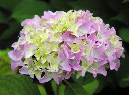 Hoa cẩm tú cầu 1- hoa đẹp 4