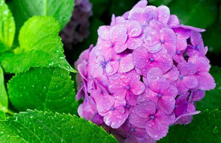 Hoa cẩm tú cầu 1- hoa đẹp 5