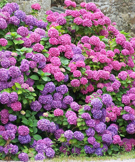 Hoa cẩm tú cầu 1- hoa đẹp 7