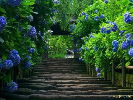 Hoa cẩm tú cầu 1- hoa đẹp 8