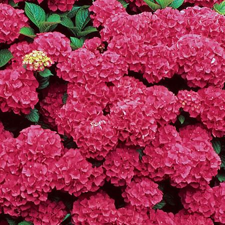 Hoa cẩm tú cầu 1- hoa đẹp 9