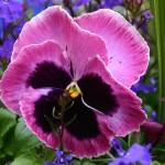 Sự tích hoa Pansy (Hoa păng xê) – loài hoa tình yêu