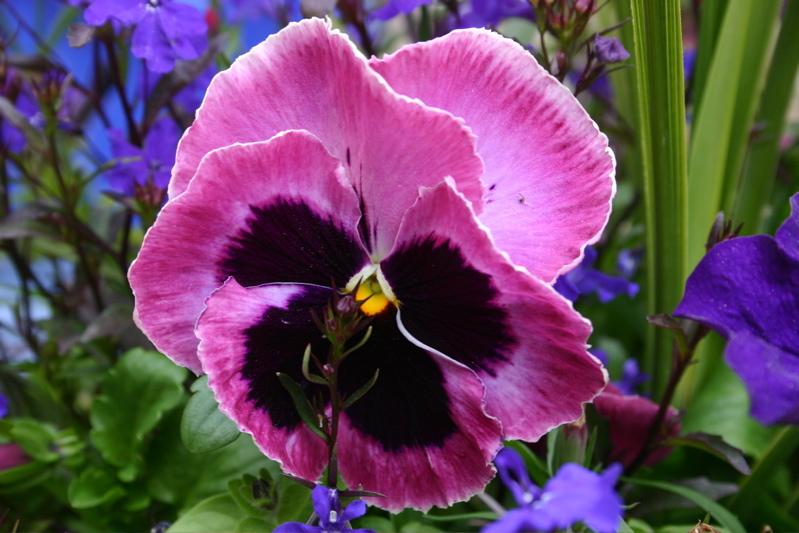 Hoa păng xê hồng