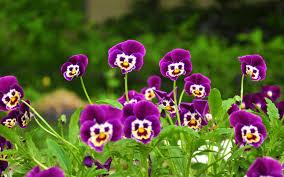 Hoa păng xê tím