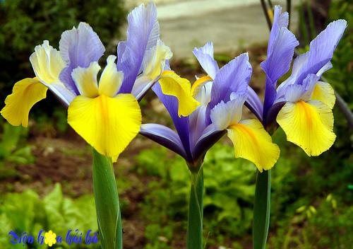 iris-hoa diên vĩ 1 Shop hoa tươi Hải Hà