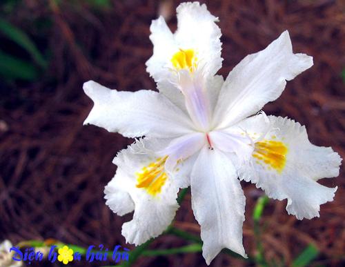 iris-hoa diên vĩ 2 Shop hoa tươi Hải Hà