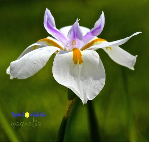 iris - hoa diên vĩ 1 Shop hoa tươi Hải Hà