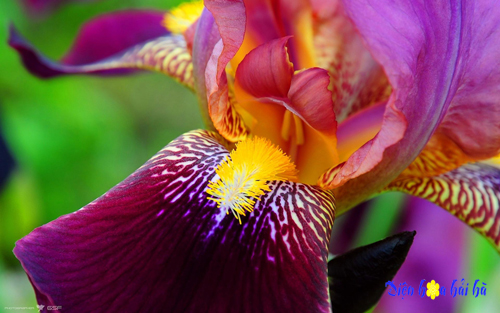iris - hoa diên vĩ 5
