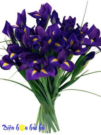 iris hoa diên vĩ 6