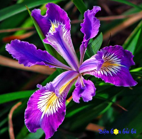 Hoa iris Hoa kỷ niệm ngày cưới