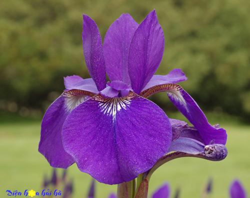 iris - hoa diên vĩ 8 Shop hoa tươi Hải Hà