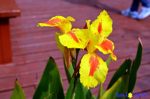 iris hoa diên vĩ 8 Shop hoa tươi Hải Hà