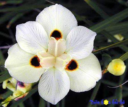iris hoa diên vĩ 9 Shop hoa tươi Hải Hà