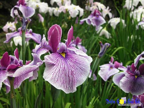 iris-hoa diễn vĩ 2 Shop hoa tươi Hải Hà