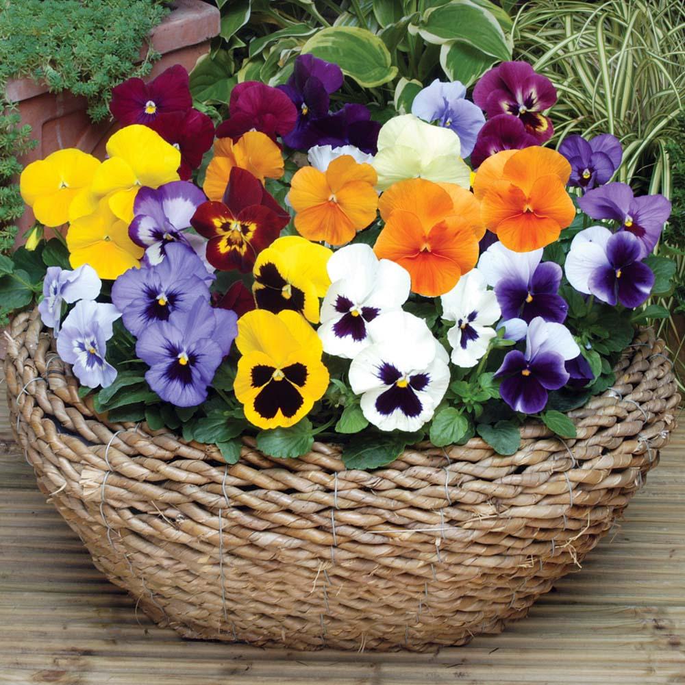 Hoa păng xê - hoa tình yêu
