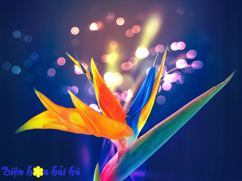 Hoa thiên điểu - Hoa đẹp