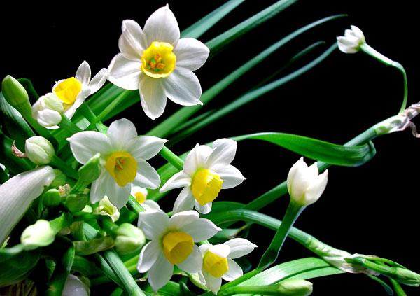 Hoa thủy tiên - Hoa kỷ niệm ngày cưới