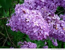 hoa tử đinh hương - Hoa kỷ niệm ngày cưới