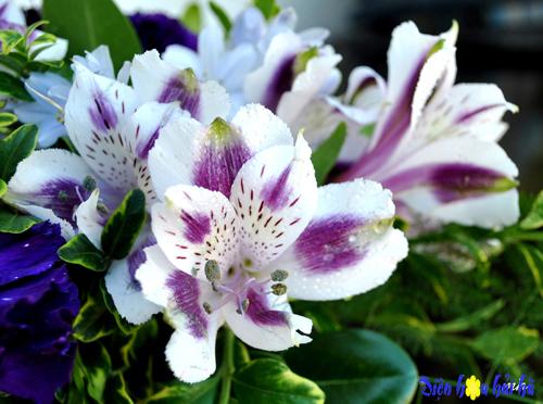 Hoa lily peru 7 - Hoa tươi đẹp