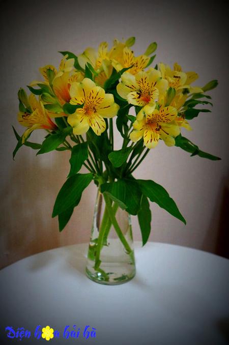 Hoa lily peru mầu vàng - Hoa đẹp
