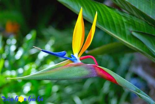 Sự tích hoa thiên điểu – Một loài hoa đẹp