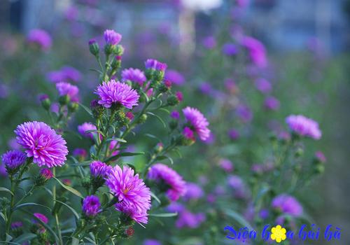 hoa thạch thảo 1 - Điện hoa Hải Hà